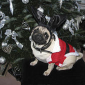 Christmas Pug - Weihnachts-Mops — Stock Photo