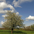 Apple tree in Georgsmarienhuette, Lower Saxony, Germany, Europe — Stock Photo #7948820
