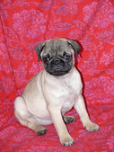 Young 10 weeks old female pug — Stock Photo