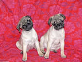 Little 10 weeks old female pugs sitting on a sofa. — Stock Photo