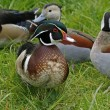 Wood duck or Carolina duck (Aix sponsa) - male bird — Stock Photo