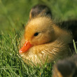 Stock Photo: Hatchling of duck, Anas platyrhynchos - Mallard