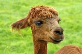 Alpaka, (Lama pacos), Pako, Alpaca (Vigugna pacos) — Stock Photo