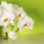 Orchid op een groene achtergrond — Stockfoto
