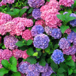 Stock Photo: Colorful hydrangeas