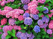 Colorful hydrangeas — Stock Photo