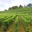 Stock Photo: Vines in vineyard