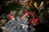 Lots of colorful Koi in the pond — Stock Photo