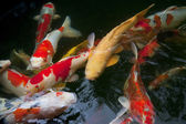 Many colorful koi carp in the water — Stock Photo