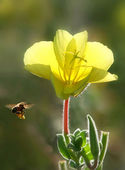 Bee flying towards yellow flower. — Stock Photo