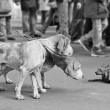 Dogs on the leash. — Stok fotoğraf