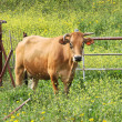Stock Photo: Cow on field.