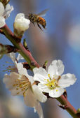 Bee gathering pollen from almond flowers. — Stock Photo