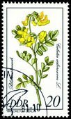 Stamp. The Flowerses of the Golutea arlorescen — Stock Photo