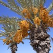 Date palms — Stock Photo