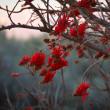 Stock Photo: Coral Tree