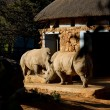 Rhino Pair in captivity — Stock Photo