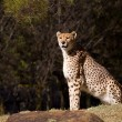 Cheetah — Stockfoto #7375517
