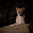 Cheetah — Stock Photo #7375538