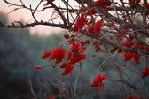 Coral Tree — Stock Photo