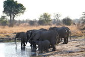 Elephants at the waterhole — Stock Photo