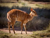 Young African Nyala — Stock Photo