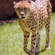 Adult Cheetah — Stock Photo