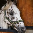 AppaloosStallion looking out of stable door. — ストック写真 #7389605