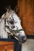 Appaloosa Stallion looking out of stable door. — Stock Photo
