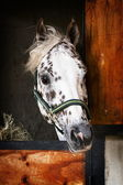 Appaloosa Stallion — Stock Photo