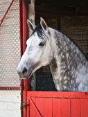Koni lipicańskich ogierem — Zdjęcie stockowe