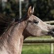 Stock Photo: Young horse with flowing mane.