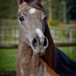 Stock Photo: Watchful Broodmare