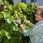 Senior Woman Inspecting Grapes in Garden — Stock Photo