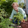 Senior woman harvesting carrots — Stock Photo