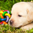 Cute labrador retriever puppy sitting on the grass — Stock Photo