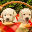 Cute labrador retriever puppies in a picnic basket — Stock Photo #7001673