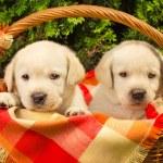 Cute labrador retriever puppies in a picnic basket — Stock Photo