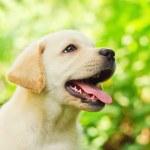 Labrador retriever puppy in the yard — Stock Photo #7001768
