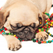 Royalty-Free Stock Photo: Pug puppy sleeping