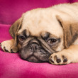 Stock Photo: Cute sleepy pug puppy