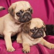 Cute beige pugs — Stock Photo