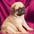 Cute beige pug puppy — Stock Photo #7001960