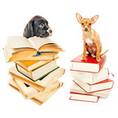 Two puppies posing with books — Stock Photo
