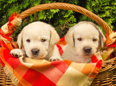Cute labrador retriever puppies in a picnic basket — Stock Photo