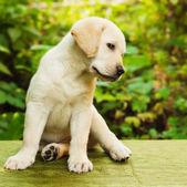 Labrador retriever puppy in the yard — Stock Photo