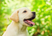 Labrador retriever puppy in the yard — Stock Photo