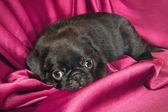 Cucciolo carino sonnolenta pug — Foto Stock