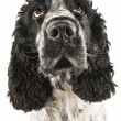 Funny closeup of a drooling english cocker spaniel - Stock Photo