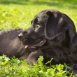 Black labrador retriever laying in the grass - Zdjęcie stockowe